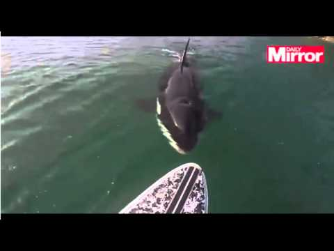 Paddleboarder gets up close to a killer whale
